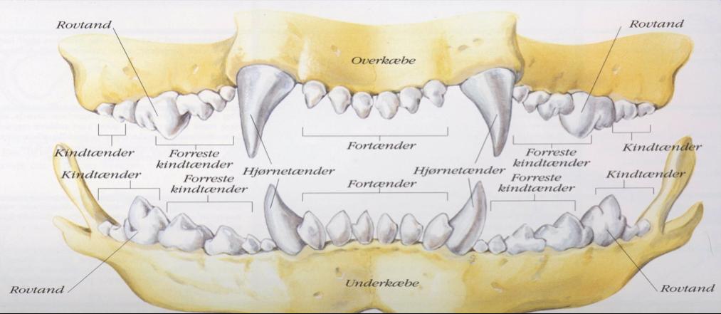hundens tandsæt